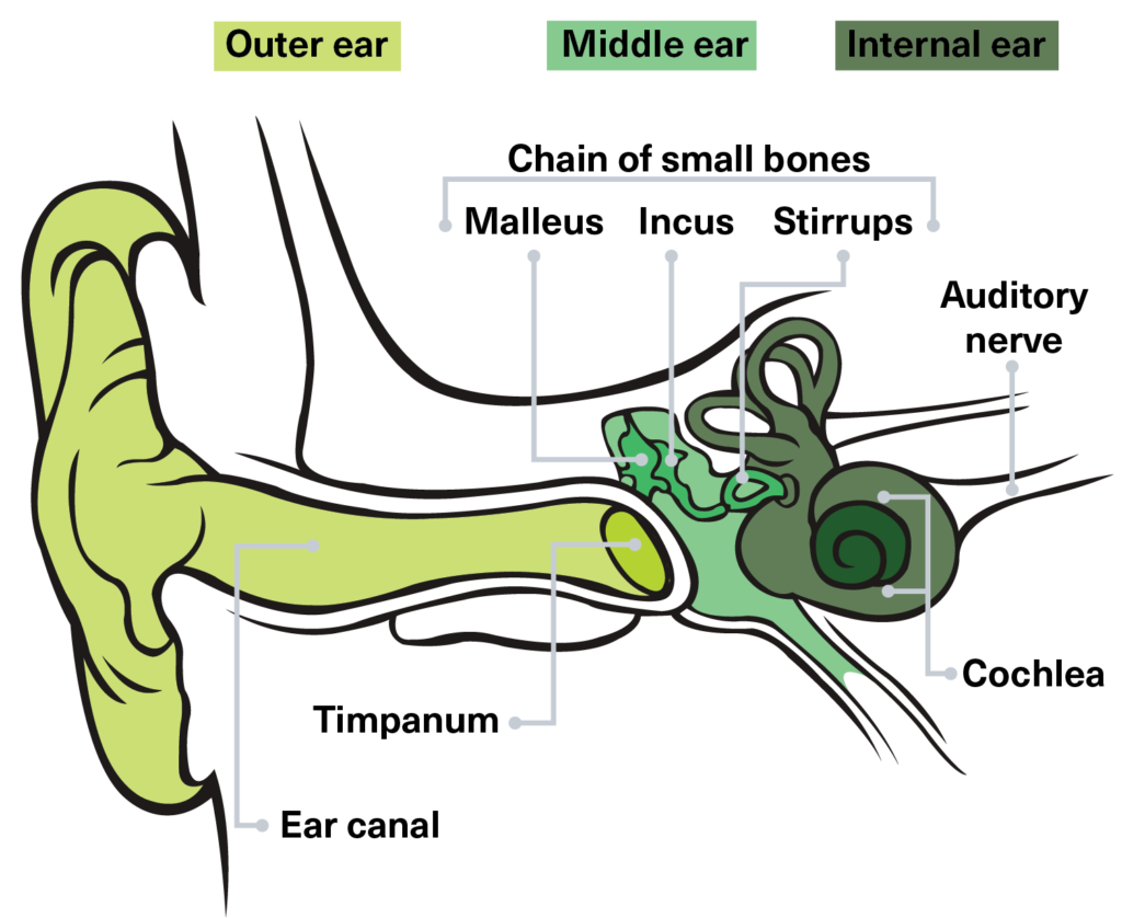 Parts of the ear that process music